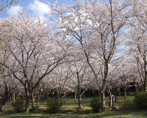 かしまの桜