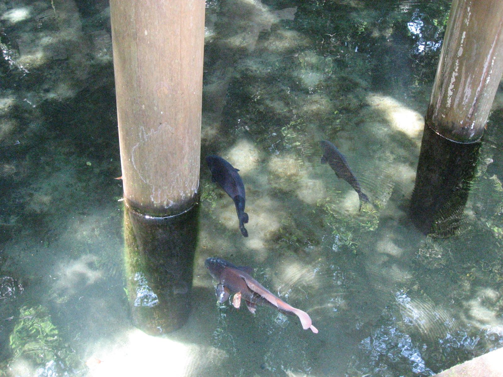 御手洗池の鯉